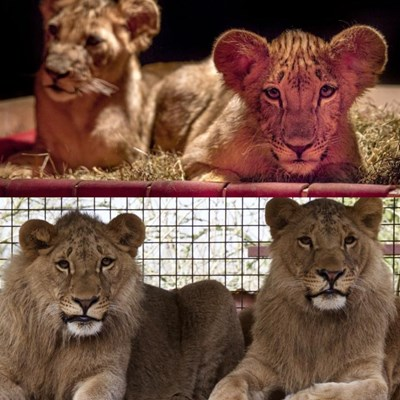 Вижте как изглеждат днес лъвчетата Терез и Масуд (ВИДЕО)
